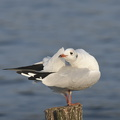 Mouette rieuse (1)