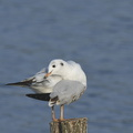 Mouette rieuse (3)